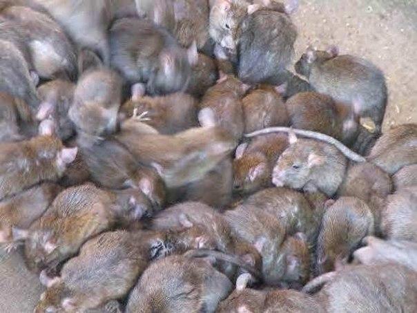 Эксперимент с крысами